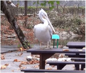 Пеликан - местная достопримечательность
